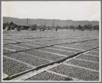 Prunes Drying at Fred Lester's, circa 1940