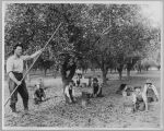 Children harvesting prunes, circa 1930