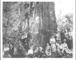 Santa Clara Tree, Big Basin, circa 1901