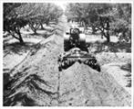 Man on tractor pulling plow between rows of trees, 1940