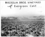 Bisceglia Bros. Vineyard at Evergreen, Calif., circa 1940s
