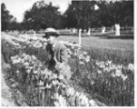 Man kneeling between rows of flowering bulbs, circa 1930s