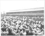 Chicken Coop Field with Chickens, circa 1930s
