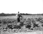 A field of beets, 1911