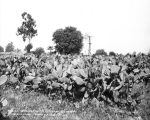 A field of spineless cacti, circa 1913