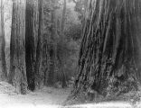 """Trails thro Big Basin are delightful…,""1913"