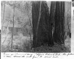 View at Governor's Camp California Redwood Park, 1913