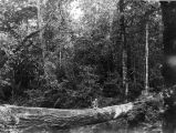 Log bridge at Big Basin, 1913