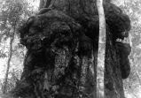 Animal tree, Big Basin, 1913