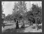 Orange Orchard, Sorosis Fruit Farm, circa 1895-1905