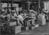 Cherry packing, circa 1890-1910