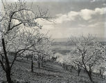 Orchard in bloom, circa 1940-1960