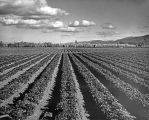 Strawberry Farm; circa 1926