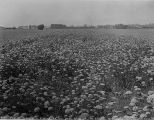 Carrots in Blossom on the Seed Farm, of W. Fosgate, Santa Clara, CA, 1920