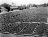 Prunes Drying at Fred Lester's, Almaden Road, 1940
