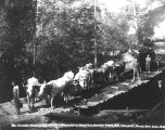 Ox Team Hauling Logs near Boulder Creek, 1892