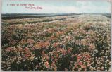 A Field of Sweet Peas, San Jose, Calif., 1908