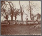Sheep on Scott Ranch, Santa Clara Valley, Calif., circa 1900