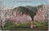 Almond Orchard in Blossom, California, 1913