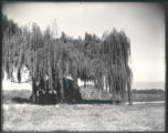 Weeping Willow and alfalfa stacks